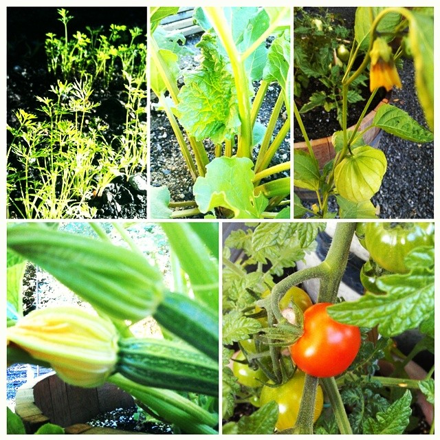 Weekly garden update. Week six.  I think that we were able to curb the powdery mildew on the squash.  Yay!! We have had such a beautiful warm July that our tomatoes are actually starting to ripen. We are fertilizing weekly  boy does that fish fertilizer stink!  #suburbangarden  #tomatoes #squash #carrots #rhubarb
